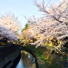 sakura_zempukujigawa